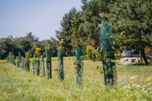 Drzewka lipowe wśród trawy